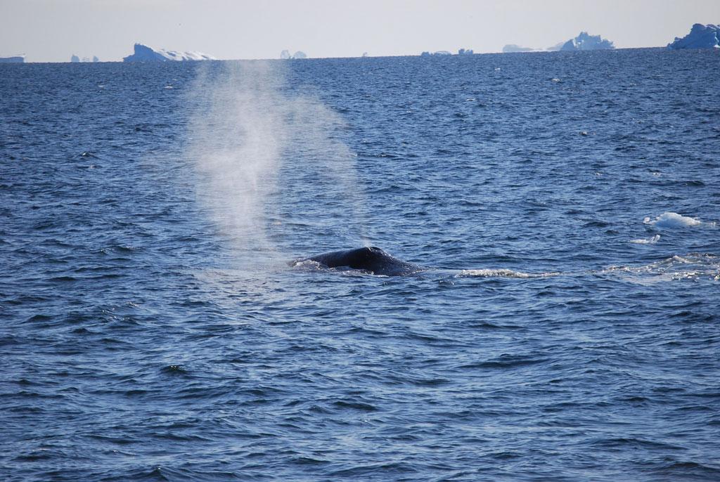Balena durante un whale watching