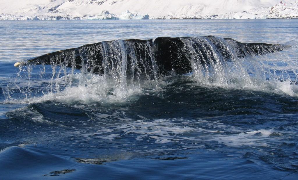 Coda di una balena tra i ghiacchi