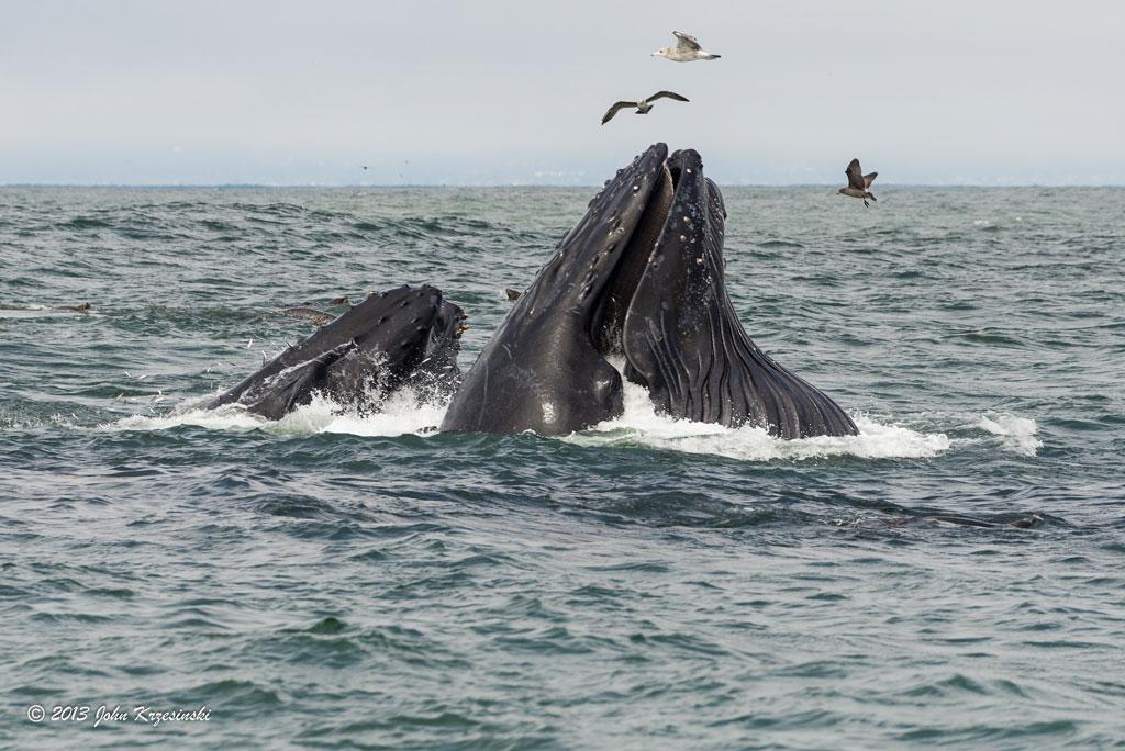 Muso di balena