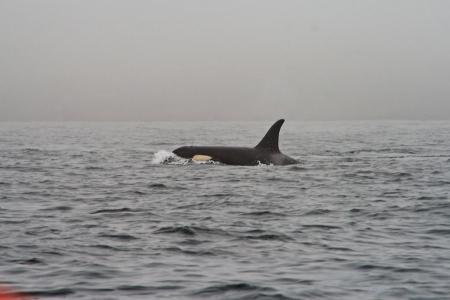 Orca al largo della Norvegia