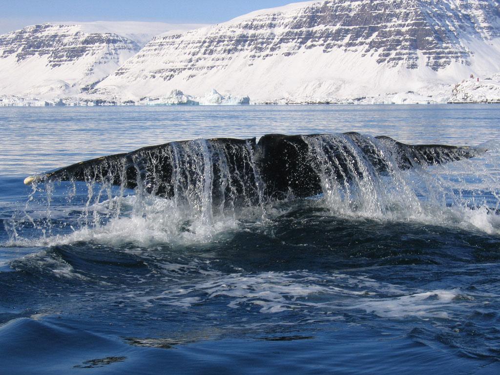 whale safari avvistamento balena norvegia lofoten